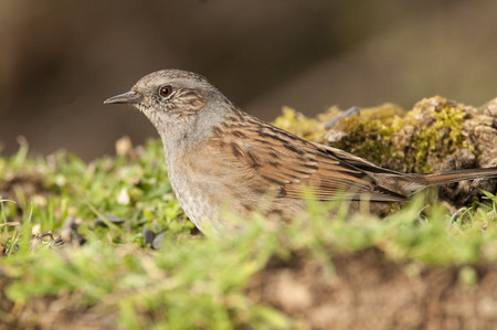 Dunnock (Prunella modularis), Looking for food in the field