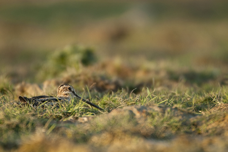 Common Snipe (Gallinago gallinago), resting in the grass