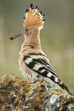 Eurasia Hoopoe or Common Hoopoe (Upupa epops), with a beetle in its beak