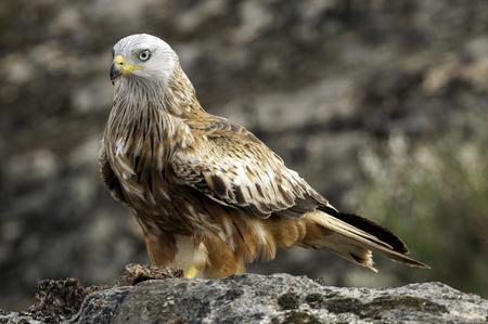 Red kite, Milvus milvus, standing on a rock Фото со стока