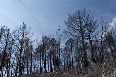 Forest fire, Pinus pinaster, Guadalajara, after the fire (Spain)