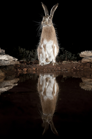 Lepus europaeus, lepus lena granatensis, portrait drinking water with reflection Standard-Bild - 120767333