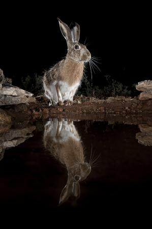 Lepus europaeus, lepus lena granatensis, portrait drinking water with reflection