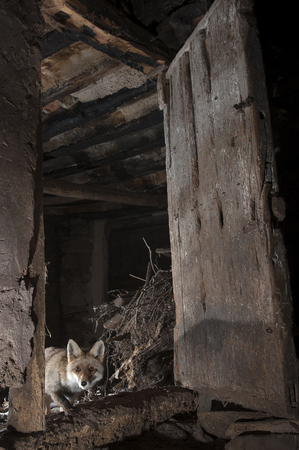 Fox, vulpes vulpes, entering an abandoned house in search of food