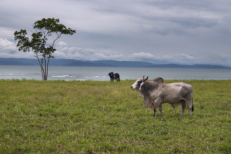 Cow, Brahman Race, Costa Rica