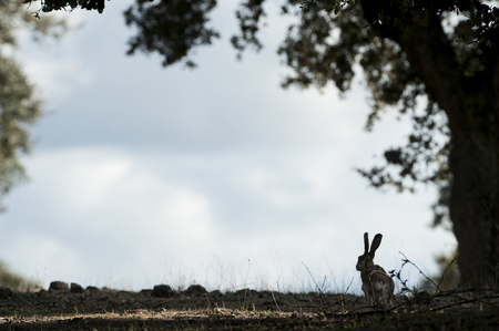 Lepus europaeus, lepus lena granatensis, backlit portrait in the oak forest Banco de Imagens