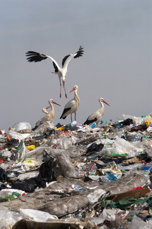 Group Ciconia ciconia in landfill