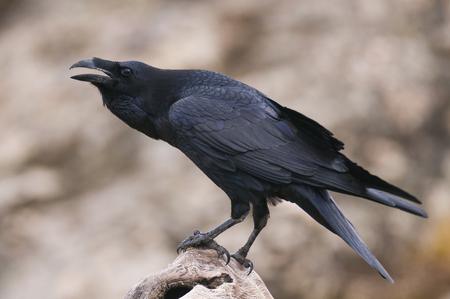 Cuervo - Corvus corax, retrato y comportamiento social