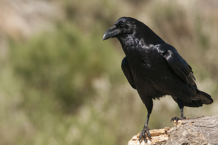 Raven - Corvus corax, Portrait waiting on a rock