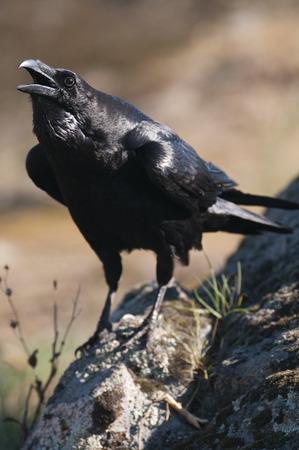 Cuervo (Corvus corax) Retrato y comportamiento social