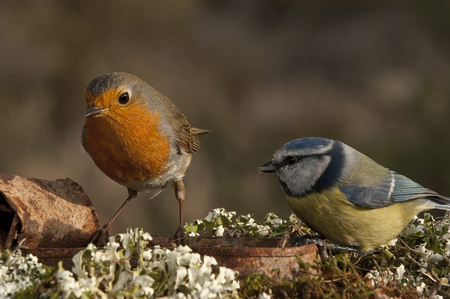 Robin - Erithacus rubecula and Blue tit, Cyanistes caeruleus, eating among the lichen