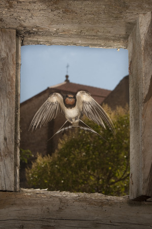 Swallow - Hirundo rustica single bird in flight entering through a window 版權商用圖片