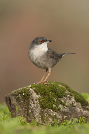 Sylvia melanocephala - Sardinian warbler in its natural habitat