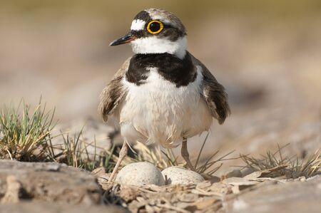 Flussregenpfeifer (Charadrius dubius) Wasservogel in seinem Nest mit Eiern