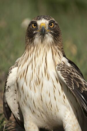 Painted eagle, pale morph, Aquila pennata, portrait
