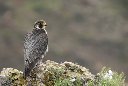 Peregrine falcon on the rock. Bird of prey, Male portrait, Falco peregrinus Stock Photo - 129273494