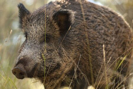 wild boar, sus scrofa, spain Stock Photo