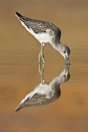Common Greenshank, Tringa nebularia, Looking for food in the water at sunset