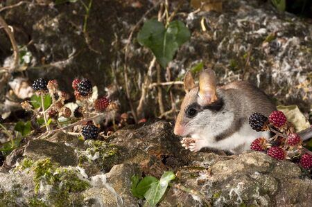 Garden Dormouse, Eliomys Quercinus, Looking for food in the countryside