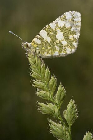 The orange tip butterfly (Anthocharis cardamines)