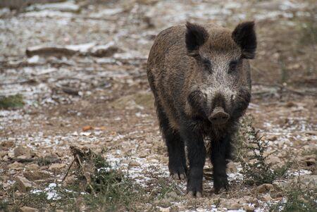 wild boar, sus scrofa, spain Stock Photo