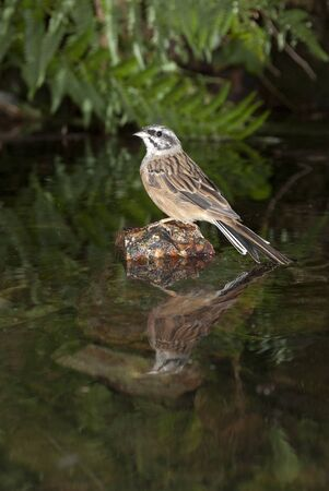 Bunting - Emberiza cia perched on a rock to drink water Banco de Imagens