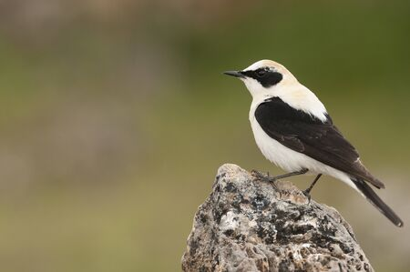 Black-eared Wheatear - Oenanthe hispanica perched on a rock 版權商用圖片