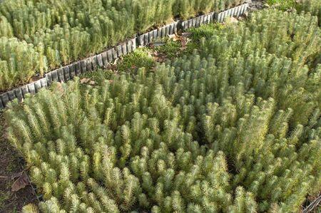 Pine tree nursery for reforestation - Pinus pinea