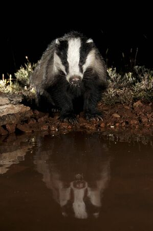EUROPEAN BADGER, drinking water and reflected, Meles meles