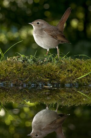 common Nightingale - Luscinia megarhynchos drinking water with reflection
