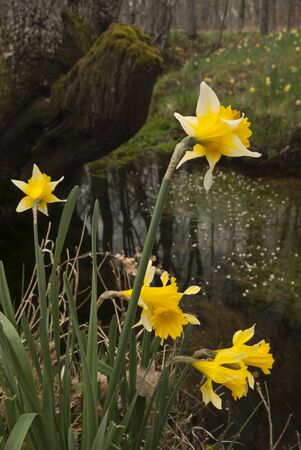 Wild daffodils - Narcissus pseudonarcissus on riverside
