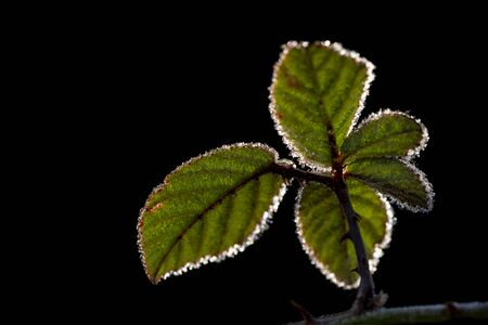 Blackberry bush leaves backlit with ice, Autumn - winter, black background