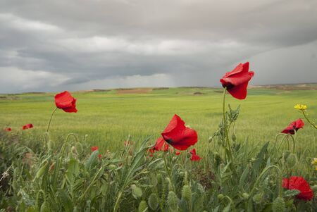Red poppy flower, Papaver rhoeas, in a cereal crop field