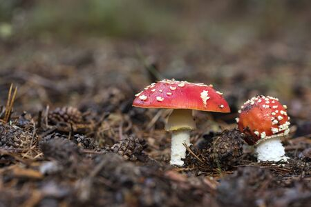 Amanita Muscaria, poisonous mushroom and natural hallucinogen from the forest, Red capped Magic Mushroom