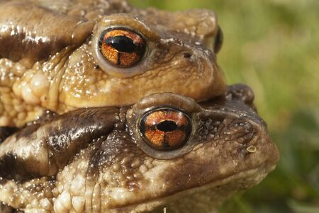 European toad (Bufo bufo), couple in heat, male and female in their natural environment, spring 免版税图像