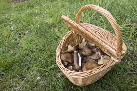 Pleurotus eryngii. Mushroom Thistle. Cardoncello mushroom freshly picked in the field, with basket and knife
