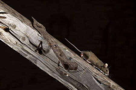 Apodemus sylvaticus, field mouse climbing a branch in search of food