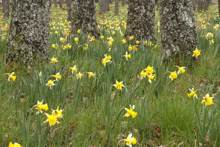 Wild daffodils - Narcissus pseudonarcissus in oak forest