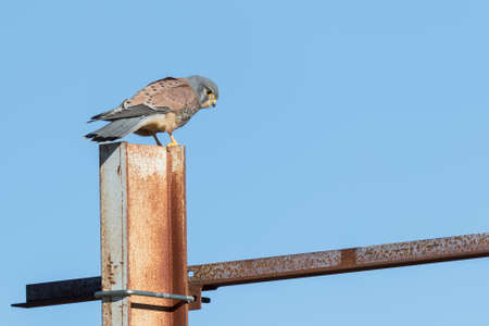kestrel searching for food on a metal beam
