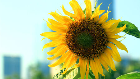 sunflowers in the park photo