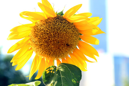 Park, blooming sunflowers, circular disk, backlit illuminated, transparent and beautiful, beautify the natural environment. photo