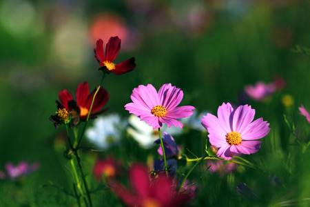 beautify: Park, Cosmos bloom, colorful, colorful, beautify the natural environment. Stock Photo