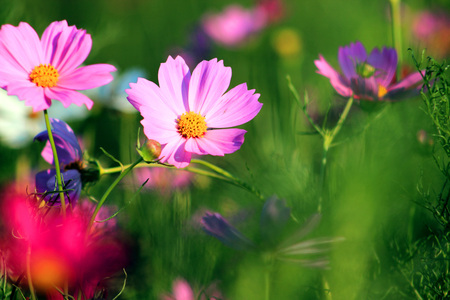 beautify: Flowers and gardens, cosmos bloom, bright bright, beautify the natural environment.