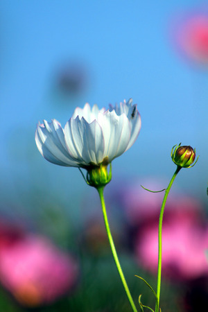 beautify: Park, Cosmos bloom, a particularly fresh pretty white flowers and beautify the natural environment. Stock Photo