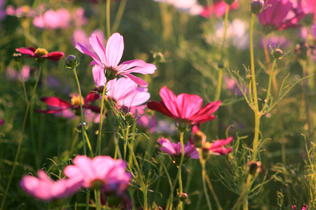 Park blooming cosmos bright brilliant, colorful, vibrant scene faction.