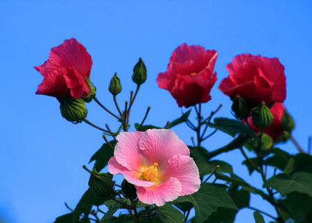 exuberant: Exuberant Hibiscus flowers in full bloom, red, pink, colorful, beautify the natural environment.