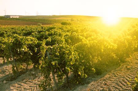 sherry: Vineyard dusk With The sun opposite Stock Photo