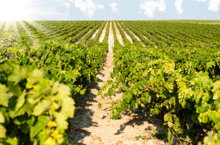 sherry: landscape with vineyards on a sunny day