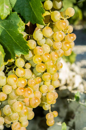 White wine grapes in vineyard on a sunny day 免版税图像