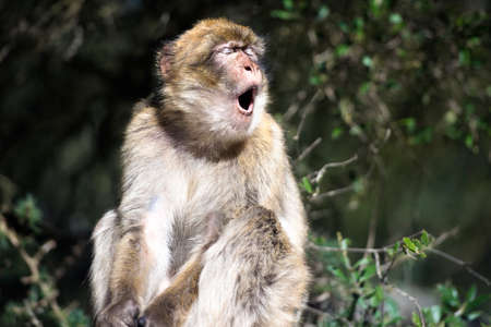 barbary ape: Barbary macaque yawn, in Gibraltar, the only place in Europe to live in freedom.